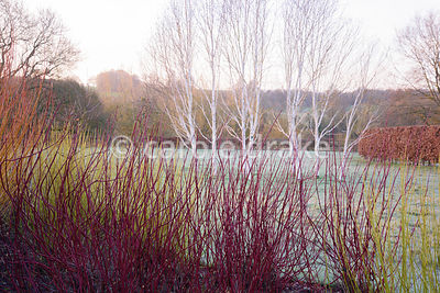 Bright stems of Cornus alba 'Sibirica' and Cornus sericea 'Flaviramea' with a group of white stemmed birch, Betula utilis var...