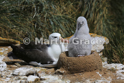 Black-Browed Albatross (Thalassarche melanophrys) adult with its nestling, The Rookery, Saunders Island