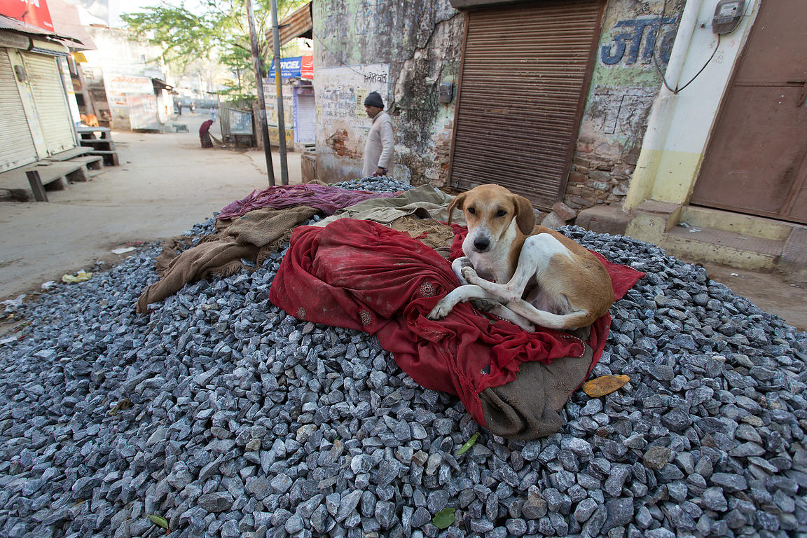 Street dog sleeping on a pile of gravel at a construction site, Pushkar, Rajasthan, India