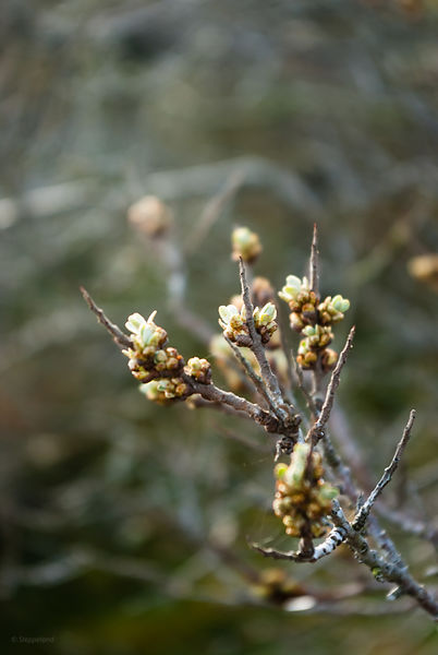 Spiny softnes of budding buckthornbush