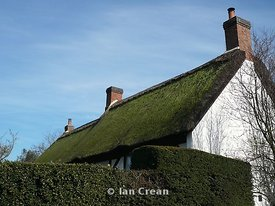 Thatch and Privet
