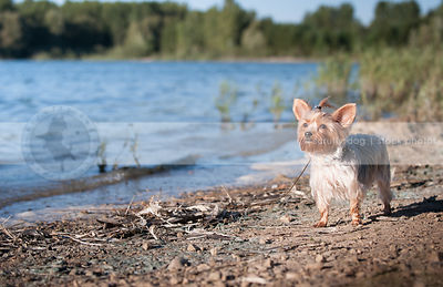 small silver and tan dog standing on lake shore beach