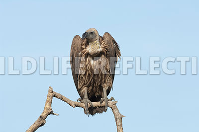 White Backed Vulture Hunch