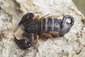 Euscorpius species