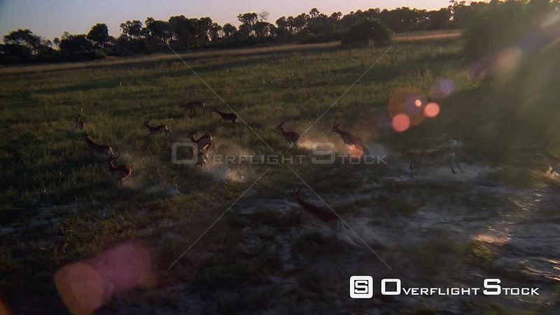 Slow motion aerial herd of antelope running and jumping through flooding plains at sunset sunrise Okavango Delta Zimbabwe