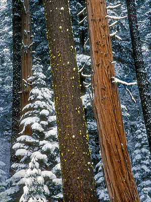 Snowy old-growth forest of fir and incense-cedar (Libocedrus decurrens) near Moon Point in the Umpqua National Forest, Oregon