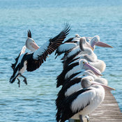 These pelicans are often seen sitting and preening themselves on a jetty in Merimbula, New South Wales, Australia. Caught thi...