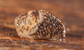 Gastropoda species