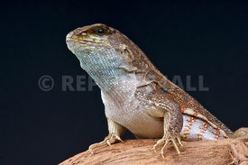 red-sided curly-tailed lizard (Leiocephalus schreibersii)