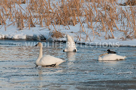 trumpeter_swans_ice_pond20120101_0001