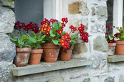 Line of red primulas in terracotta pots on the windowsill. Summerdale House, Lupton, Cumbria, UK