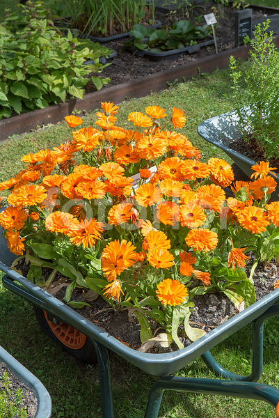 Calendula officinalis, souci, orange