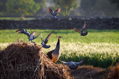 Beautiful scene as pigeons fly near a female peacock on a wheat farm in late light, Kharekhari village, Rajasthan, India