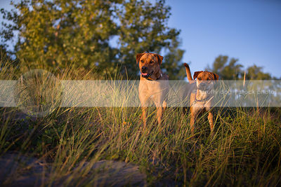 two alert mixed breed red dogs standing together in grasses