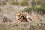 Lioness with cub (Panthero leo), Shamwari Game Reserve, Eastern Cape, South Africa