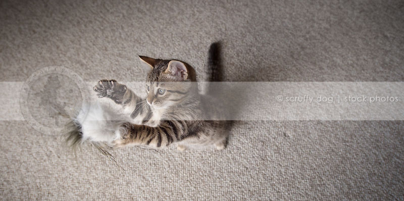 brown tabby kitten standing on two feet playing with toy indoors