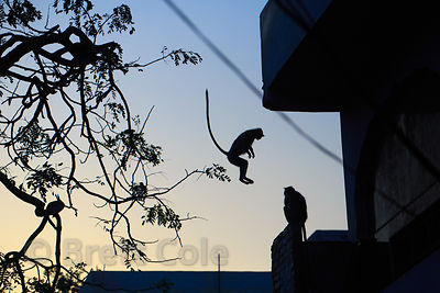 Langur monkey jumping from a tree at dusk, Pushkar, Rajasthan, India