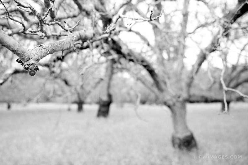 SPRING ORCHARD NAPA VALLEY BLACK AND WHITE