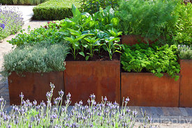 Herbs including Thymus, Petroselinum crispum, Beta vulgaris and Foeniculum growing in corten steel containers beside a path i...
