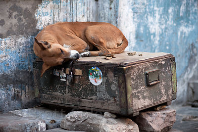 Dog sleeping atop a wooden crate in Jodhpur, Rajasthan, India