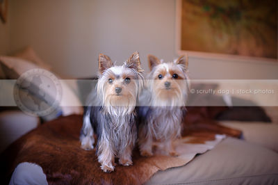two little yorkie dogs standing together on sofa at home indoors