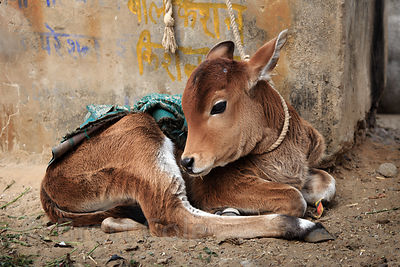 Gorgeous calf tied to a wall on a very short rope, Pushkar, Rajasthan, India