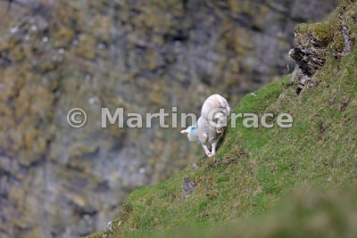 Shetland lamb jumping dangerously down the cliff to its mother, Hermaness NNR, Unst, Shetland