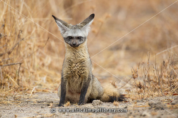 Bat-eared fox (Otocyon megalotis), Ruaha National Park, Tanzania