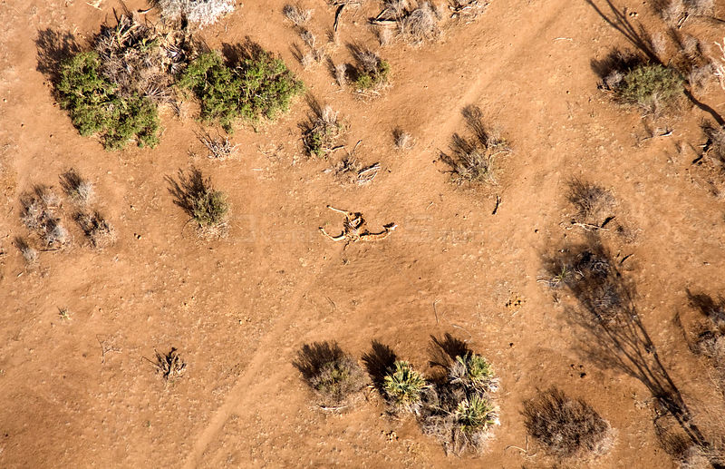 Aerial of dead giraffe most likely the result of the worst drought (2008-2009) in more than a decade in Northern Kenya. Augus...