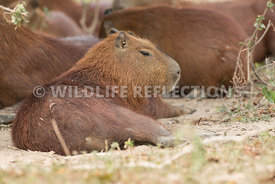 capybara_young_rest-1