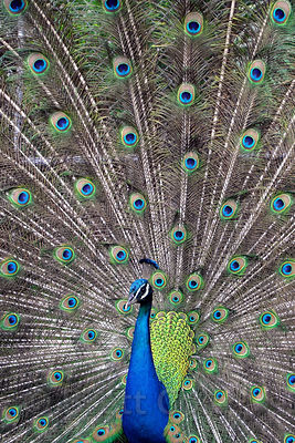Indian peafowl (Pavo cristatus) displaying its plumage, Zoo Ave, Alajuela, Costa Rica