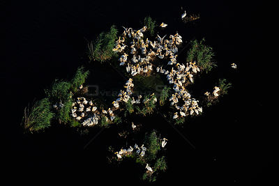 Eastern white pelicans (Pelecanus onocrotalus), aerial view of flock nesting within Danube delta rewilding area, Romania, Jun...