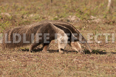 giant_anteater_walking-09041386