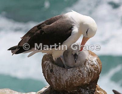 Black-Browed Albatross (Thalassarche melanophrys) parent preening its chick on the nest, The Rookery, Saunders Island