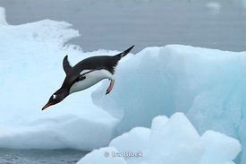 A gentoo penguin jumping into the ocean at Neko Harbor, the Antarctic Peninsula.