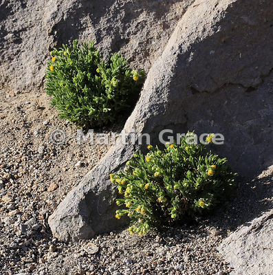 Parastrephia lepidophylla, High Andean Steppe, Lauca National Park, Region XV, northern Chile