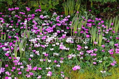 Cyclamen coum. Hodsock Priory, Blyth, Notts