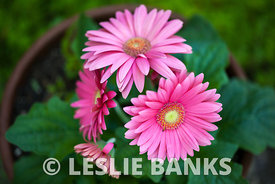 Potted Pink Gerbera Daisies