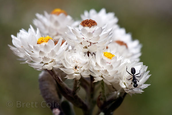 Wildflower (sp.) and insect, Wildcliff Nature Reserve, South Africa