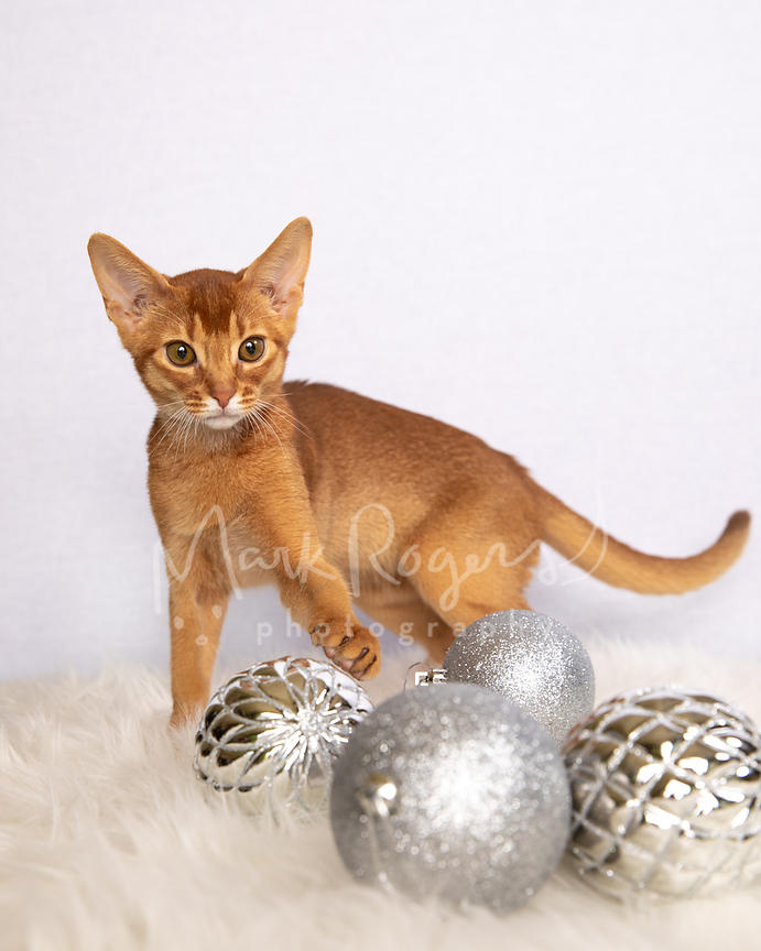 Abyssinian Kitten Playing with Christmas Ornaments