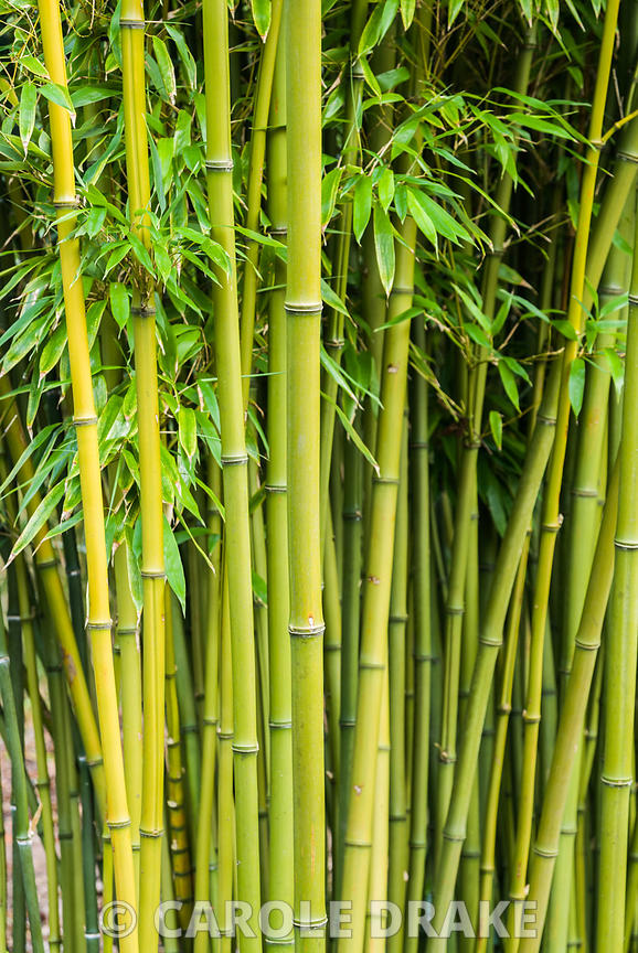 Phyllostachys nigra f. henonis, AGM. The Sir Harold Hillier Gardens/Hampshire County Council, Romsey, Hants, UK