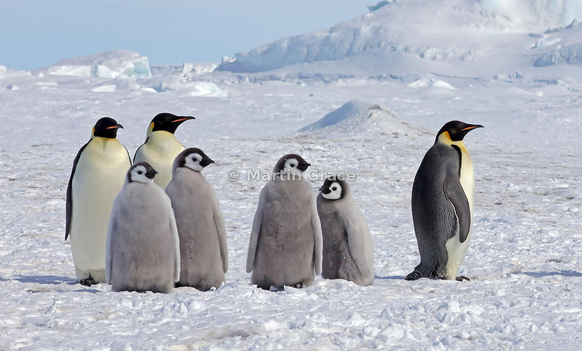 Emperor Penguin (Aptenodytes forsteri) adults and chicks, by Snow Hill Island, Weddell Sea, Antarctica