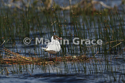 Adult Brown-Hooded Gull (Larus maculipennis) in breeding plumage with egg on simple nest, Chiloe Island, Chile