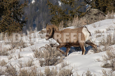 bighorn_winter_travels