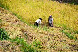 Hmong Women Cutting Stalks of Rice for Drying in the Sun