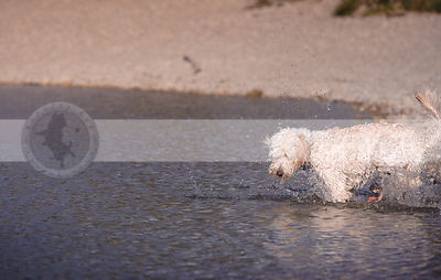 wet curly coated mixed breed dog playing with ball splashing in lake
