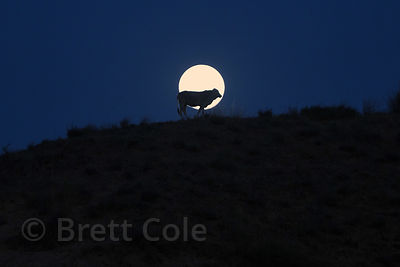 A cow silhouetted against a full moon, Ajaypal, Rajasthan, India