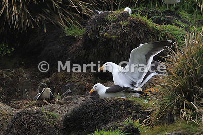 Kelp Gull pair mating (Larus dominicanus), Punihuil Islets, Chiloe Island, Chile