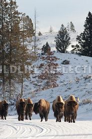 bison_on_road_vertical