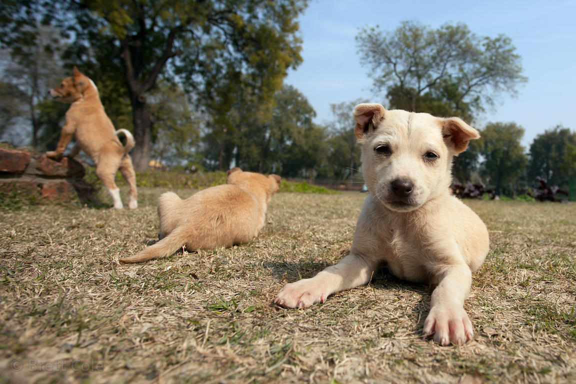 Stray dog puppies play in the grass at the Sarnath archaelogical site, India.